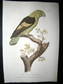 Shaw C1800's Antique Hand Col Bird Print. Black Winged Parakeet